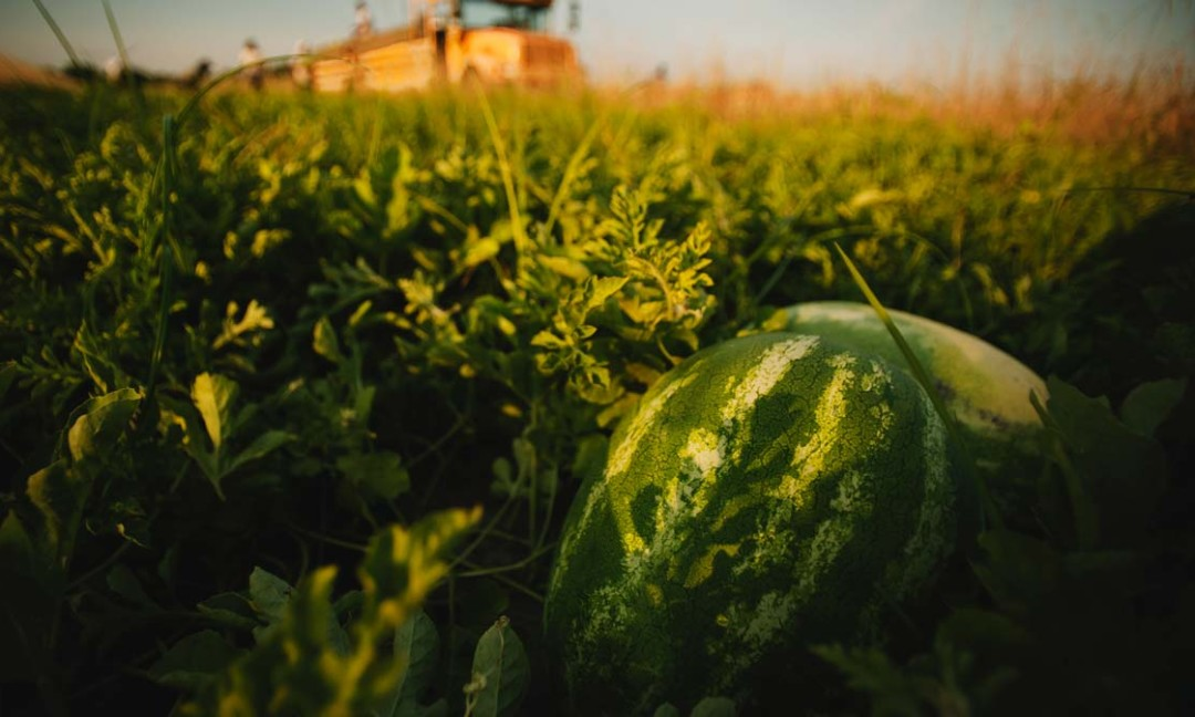 watermelon in field with watermelon packing bus/truck in background