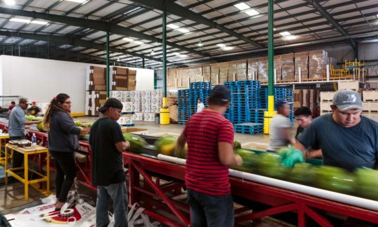 watermelon shed, assembly line with watermelon on conveyer belt