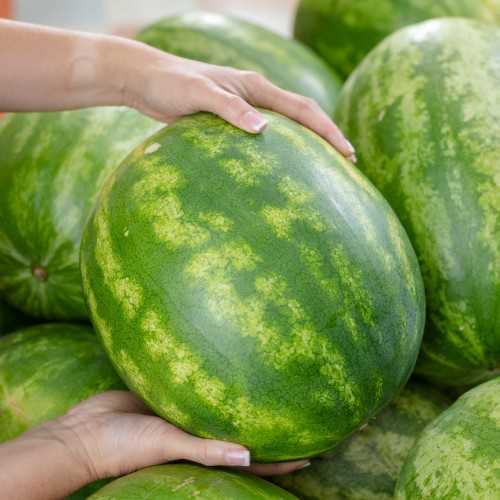 close-up of watermelons in bin, two hands holding one watermelon for picture